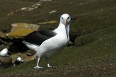 image of albatross  - The most beautiful Albatross of the World - JPG