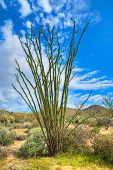 pic of ocotillo  - Ocotillo and Teddy Bear Cholla in Sonoran Desert  - JPG