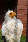 Egyptian Neophron Percnopterus Bird Of Prey, The White Scavenger Vulture Or Pharaohs Chicken, Closeu poster
