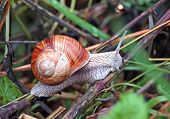 foto of hermaphrodite  - Garden snail  - JPG