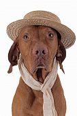 picture of vizsla  - portrait of a Hungarian Vizsla hunting dog with starw hat and scarf n white background - JPG