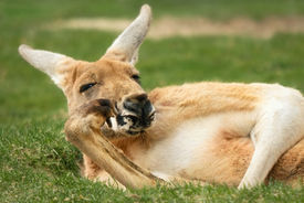 stock photo of opossum  - Funny outdoor portrait of a relaxed kangaroo posing like a human and looking into the camera - JPG