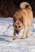 picture of laika  - West Siberian Laika walking in winter forest - JPG