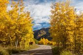 Aspen Trees in Full Fall Color