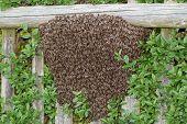 stock photo of swarm  - Honey bees swarm on bush in summer - JPG