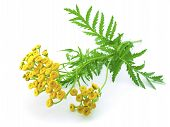 picture of tansy  - yellow flowers and green leaves of tansy isolated on a white background close - JPG