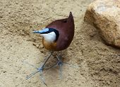 picture of sand lilies  - African jacana  - JPG
