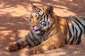 stock photo of unawares  - A tiger show own tongue by unaware - JPG