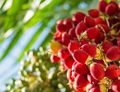 picture of raja  - close up ripen fruit of lipstick palm or sealing - JPG