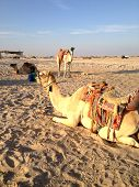 picture of hump day  - the Camel on the sand for background - JPG