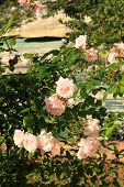 picture of climbing roses  - Beautiful pink climbing rose in the afternoon sunlight - JPG
