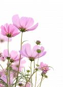 image of cosmos  - Pink cosmos flowers isolated on a white background