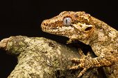 stock photo of gargoyles  - Gargoyle Gecko (Rhacodactylus auriculatus) in profile on a branch staring into the distance against a black background. Native to New Caledonia