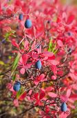 stock photo of bearberry  - Ripe blueberries with red leaves in autumn forest - JPG