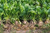 foto of biodiversity  - Closeup of organically cultivated sugar beet plants and weeds in a field of dry clay soil