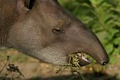 pic of tapir  - Close - JPG