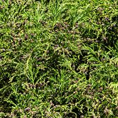 pic of bump  - Green Prickly Branches with Bumps of Coniferous Tree closeup - JPG