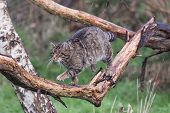 foto of wildcat  - Scottish Wildcat walking along a branch caught in mid action.