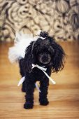stock photo of poodle  - black poodle with a bow wedding dress - JPG