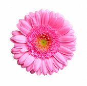 pic of may-flower  - gerbera flower isolated on a white background - JPG