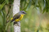 pic of australie  - Eastern Yellow Robin perched in a tree - JPG