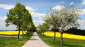 foto of linden-tree  - springtime beautiful view of road alley of apple tree field of rapeseed and sky with clouds - JPG