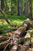 stock photo of ecosystem  - Fallen dead trees on the ground are important part of forest ecosystem - JPG