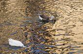foto of webbed feet white  - Two white ducks swimming in golden sparkling water - JPG