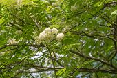 foto of ashes  - Sorbus aucuparia mountain ash tree with white blooms - JPG