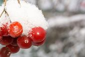 picture of rowan berry  - Close up of red rowan berries with ice crystals winter hoarfrost.