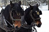 picture of carriage horse  - a pair of horses equipped with carriage pulling gear with snow in the background - JPG