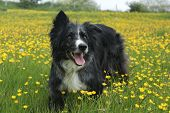 foto of border collie  - A blue merle border collie amongst some May buttercups  - JPG