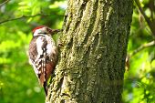 picture of woodpecker  - Great Spotted Woodpecker on a tree trunk hole - JPG