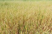image of oats  - Ripening green yellow oat or Avena sativa ranch field floral background - JPG