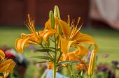 stock photo of lillies  - Yellow lilly flowers and green plants in the garden - JPG