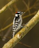 stock photo of woodpecker  - A Downy Woodpecker in a tree that has lost its leaves  - JPG
