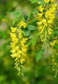 foto of locusts  - Locust tree blossom  - JPG