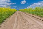 stock photo of rape  - Earth road in rape field at spring season - JPG