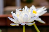 stock photo of snuff  - white lotus flower with bees flying through the middle of the pool  - JPG