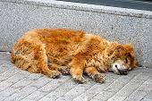 stock photo of stray dog  - Furry stray dog sleeping at street pavement - JPG