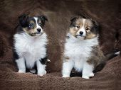 foto of sheltie  - Couple cute sheltie puppies sitting on a sheepskin - JPG