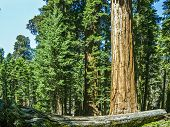 picture of sequoia-trees  - tall and big sequoias in beautiful sequoia national park - JPG