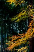 stock photo of bamboo leaves  - Maple leaves in warm autumn colors among bamboo grove - JPG