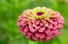 stock photo of zinnias  - Pink zinnia in the home garden - JPG