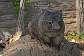 image of wombat  - closeup of a male wombat sitting on a log of wood - JPG
