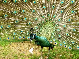 stock photo of female peacock  - peacock spread tail - JPG