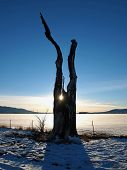 foto of cottonwood  - A lone dead cottonwood tree stands at the edge of a rural field - JPG