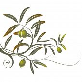 pic of olive trees  - Olive - JPG