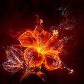 Постер, плакат: Огненный цветок Гибискус