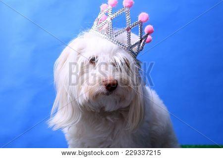 poster of A Maltese Dog wears her Princess Crown. Dog Studio Portrait. Princess dog.